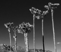 AZ - Palm Tree Negative